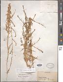 view Bassia hyssopifolia (Pall.) Kuntze digital asset number 1