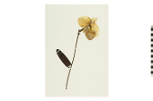 view Slipper Orchid digital asset number 1