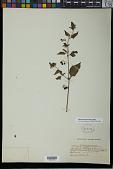 view Solanum americanum Mill. digital asset number 1