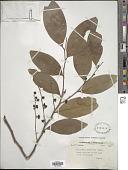 view Diospyros petelotii Merr., ined. digital asset number 1