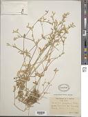 view Cerastium caespitosum Rchb. & Kit. digital asset number 1