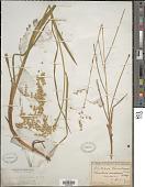 view Glyceria canadensis (Michx.) Trin. digital asset number 1