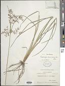 view Fimbristylis dura (Zoll. & Moritzi) Merr. digital asset number 1