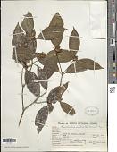 view Psychotria suterella Müll. Arg. digital asset number 1