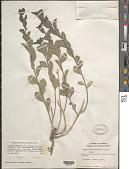 view Argythamnia blodgettii Chapm. digital asset number 1