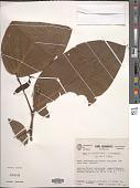 view Piper brachypodon (Benth.) C. DC. digital asset number 1