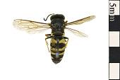 view Black And White Digger Wasp, Sphecid Wasp digital asset number 1