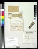 view Calicium fuscipes Tuck. in Drumm. digital asset number 1