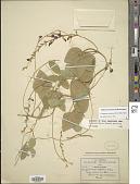 view Cologania racemosa (B.L. Rob.) Rose digital asset number 1