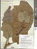 view Trichadenia sasae W.N. Takeuchi digital asset number 1