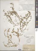 view Spergularia marina (L.) Griseb. digital asset number 1