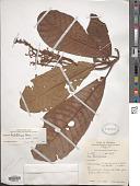 view Saurauia scabra (Kunth) D. Dietr. digital asset number 1