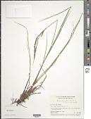 view Carex aquatilis var. minor Boott digital asset number 1