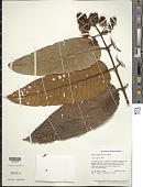 view Vismia latifolia (Aubl.) Choisy digital asset number 1