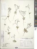 view Eriogonum pusillum Torr. & A. Gray digital asset number 1
