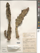 view Euphorbia antiquorum L. digital asset number 1
