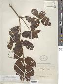 view Trigonia laevis var. microcarpa (Sagot ex Warm.) Sagot digital asset number 1
