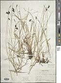 view Carex x stygia Fr. digital asset number 1