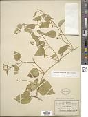 view Cynanchum foetidum (Cav.) Kunth digital asset number 1