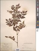 view Sorbus aucuparia L. digital asset number 1