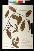 view Passiflora riparia Mart. ex Mast. digital asset number 1