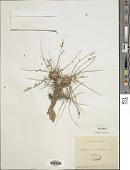 view Astragalus cephalotes Banks & Sol. digital asset number 1