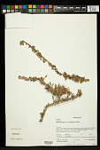 view Megistostegium microphyllum Hochr. digital asset number 1