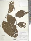 view Platymiscium trinitatis Benth. var. trinitatis digital asset number 1