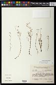 view Siphanthera arenaria (DC.) Cogn. digital asset number 1