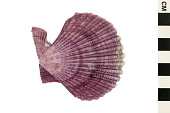 view Glorious Scallop digital asset number 1