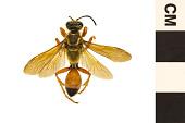 view Great Golden Digger Wasp digital asset number 1