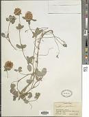 view Trifolium pratense L. digital asset number 1
