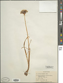 view Allium drummondii Regel digital asset number 1