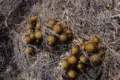view Mammillaria nivosa Link ex Pfeiff. digital asset number 1