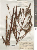 view Lindmania paludosa L.B. Sm. digital asset number 1
