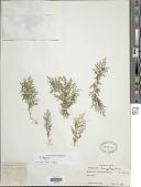 view Selaginella chrysorrhizos Spring digital asset number 1
