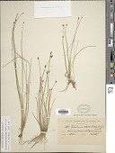 view Eleocharis maculosa (Vahl) Roem. & Schult. digital asset number 1