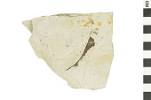 view Fossil Dicot digital asset number 1