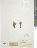 view Carex pterocarpa Petrie digital asset number 1
