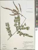 view Amorpha herbacea Schltdl. digital asset number 1