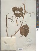 view Cissus verticillata subsp. verticillata (L.) Nicolson & C.E. Jarvis digital asset number 1