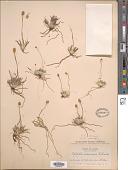 view Tofieldia coccinea Richardson digital asset number 1