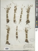 view Cyperus bipartitus Torr. digital asset number 1