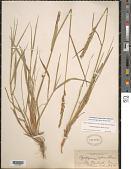 view Thinopyrum pungens (Pers.) Barkworth digital asset number 1