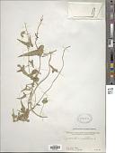 view Cynanchum acutum subsp. sibiricum (Willd.) Rech. f. digital asset number 1