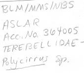 view Polycirrus sp. digital asset number 1