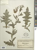 view Cirsium arvense (L.) Scop. digital asset number 1