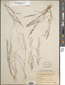 view Eragrostis pilosa (L.) P. Beauv. digital asset number 1