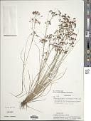 view Rhynchospora hirsuta (Vahl) Vahl digital asset number 1