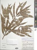 view Podocarpus celatus de Laub. digital asset number 1